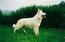 Flash Yukon of White Condor