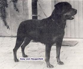 Assy vom Haugenfeld
