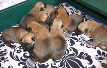chiots Imola/Diego 14 jours