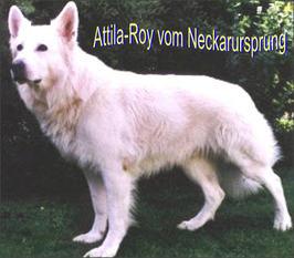 Attila-Roy vom Neckarursprung
