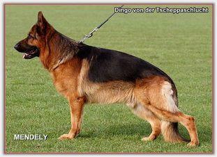 Dingo von der Tscheppaschlucht
