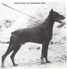 Graaf Gento van Neerlands Stam (NHSB 405091)