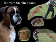 Ibo vom Storchenhorst