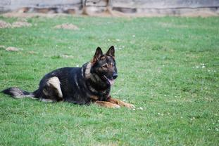 Dingo vom Gimpelwald