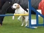 Beauty Succession's Beagles Parker Jones