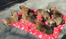 chiots Imola/Diego 18 jours