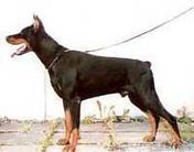 Lobo Royal Bell
