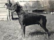 Rex Rocco vom Druidenstein