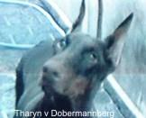 Tharym vom Dobermannberg