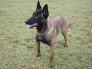 Indiana NPA Detection Dog