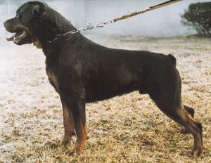 Dingo vom Schwaiger Wappen