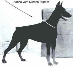 Zarina vom Norden Stamm
