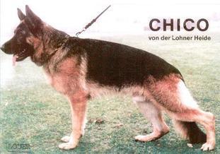 Chico von der Lohner Heide