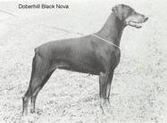 Doberhill Black Nova