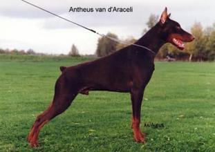 Antheus van d'Araceli