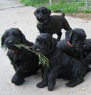 W-Puppys von der Fortuna-Ranch