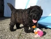 Bouvier des Flandres A-Wurf