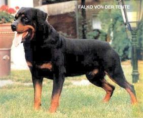 Falko von der Tente