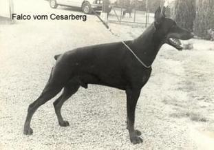 Falco vom Cesarberg