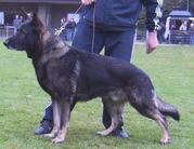 Ursus vom Schwarzen Milan