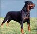 Bessy von Siki Rottweiler