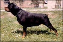 Beta von Siki Rottweiler