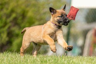 working-dog Miro