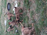 Pups Zuart x Gaelin 5 1/2 wek oud.