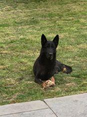 Hundeschafer Drago