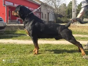 CR7 Rottweiler Bomber from Arsic