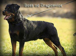 Boss od Dragicevica
