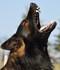 Dark Lobo vom schwarzen Panther