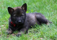 Puppies - litter B Majoruv haj - www.majoruvhaj.cz Terror + Pumma
