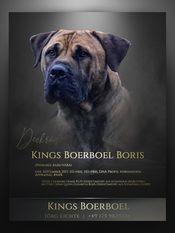 Kings Boerboel Boris