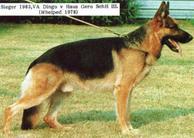 Dingo vom Haus Gero