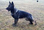 Wolf's Kimba