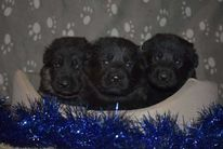 Puppies 27 day Ike x Chira