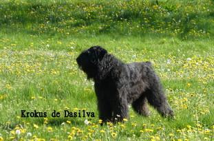 Krokus de Dasilva