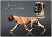 Hector Gymnema Sylvestre