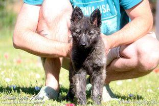 Brindle Wolf Star Lord
