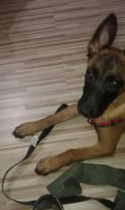 Athena Red Devils Dog