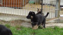 pups @ 33 days