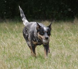 A-Sydney vom wilden Dingo