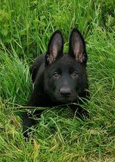 Canis rabidus A'Tatou