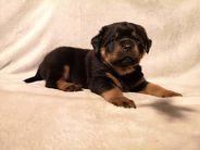 D-Wurf, 5 Wochen alt