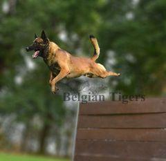 Belgian Tigers Highlander
