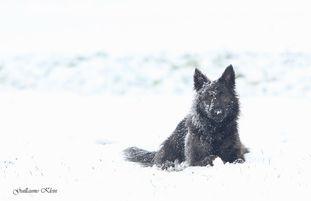 Brindle Wolf Olathe