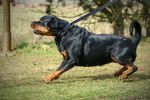 Dafné Skortex Dog
