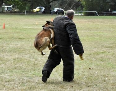 Dutch working malinois Bullit