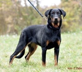 Hatsya Astra Canina